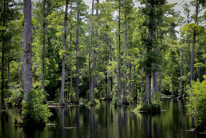 Tupelo and Cypress trees growing in the swamps at Cypress Gardens.