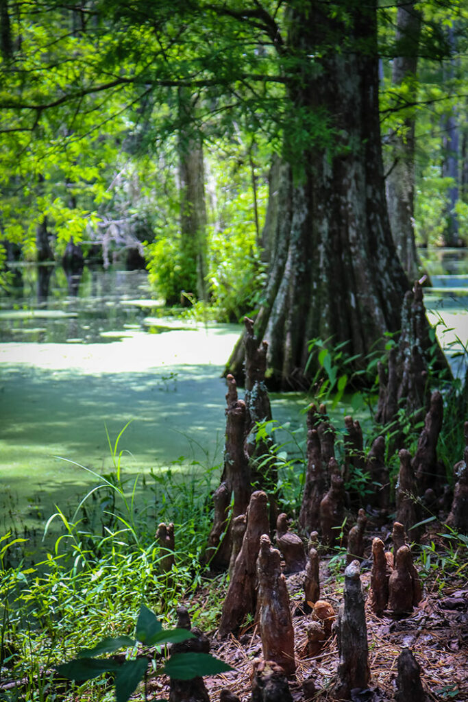"""The """"knees"""" of Cypress Trees growing at Cypress Gardens"""