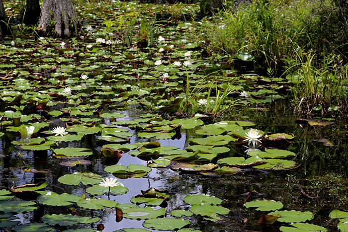 Lily pads growing in the swamp at Cypress Gardens